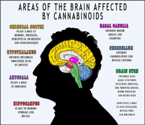 Areas of the brains affected by medical cannabis.