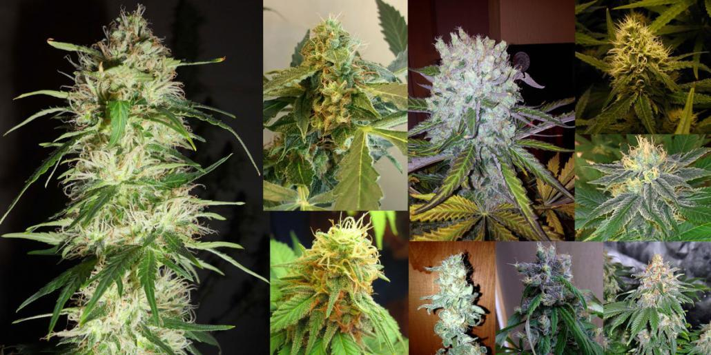 assortment bud types different cannabis types