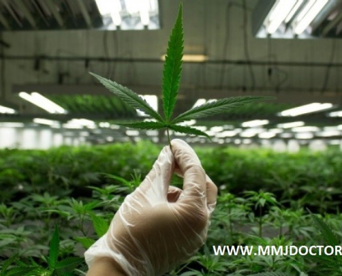 How to grow medical marijuana and cannabis plants at home