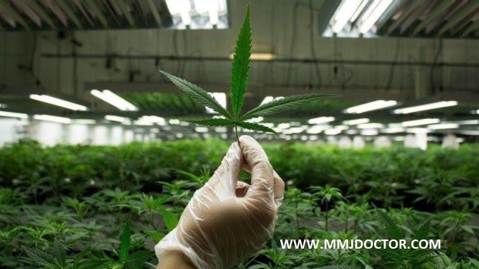 HOW-TO-GROW-medical-marijuana-AT-HOME-MMJDOCTOR