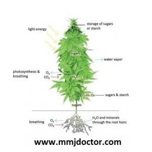 How to grow medical cannabis plants