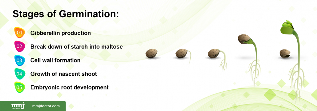 Stages of germination